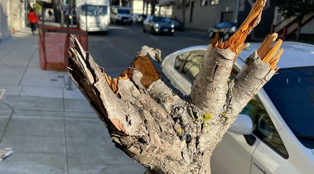 Cherry blossom trees in Japantown vandalized, nearly destroyed by vandal
