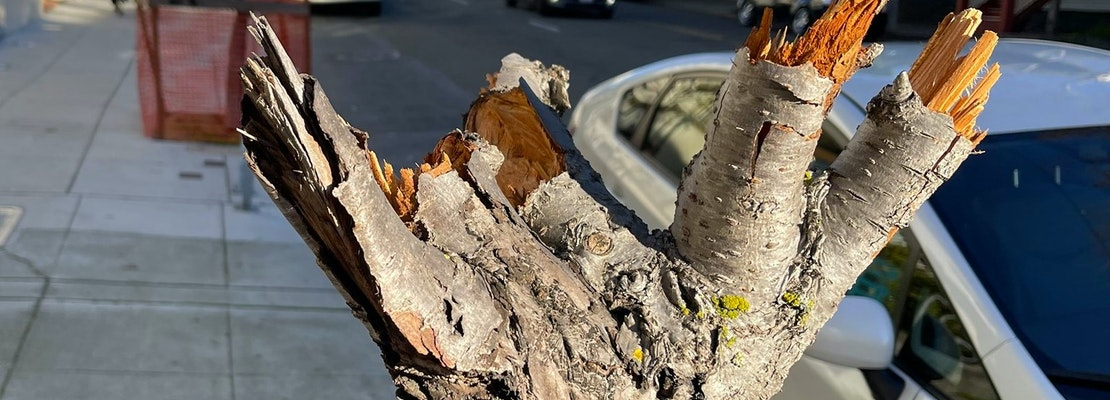 Cherry Blossom Trees In Japantown Vandalized Nearly Destroyed By