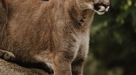 Mountain lion gets over six-foot fence to attack dog in Woodside