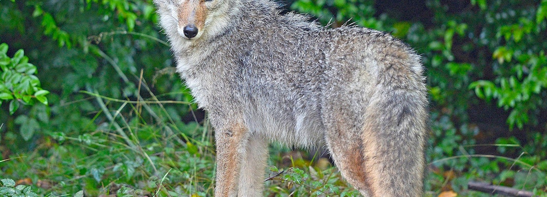 Presidio Trust closes parts of popular trails to dog walking as coyote pupping season begins