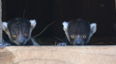 Pictures: Happy Hollow Park & Zoo in San Jose celebrates the birth of endangered lemur pups