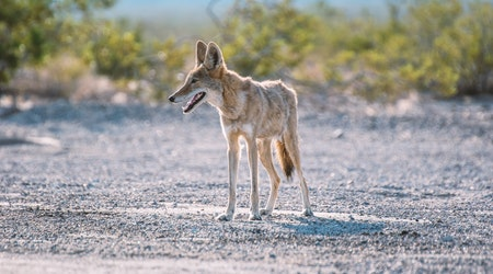 What to do if you encounter coyotes while hiking around the Bay Area (and why you may be seeing them more)