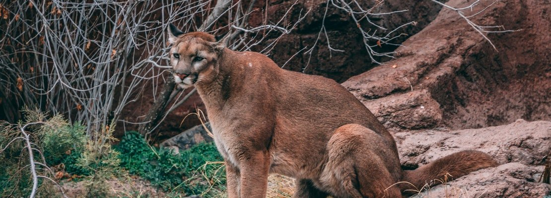 New mountain lion sighting, this time in Bernal Heights