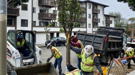 New cherry blossom trees planted in Japantown, replacing vandalized trees