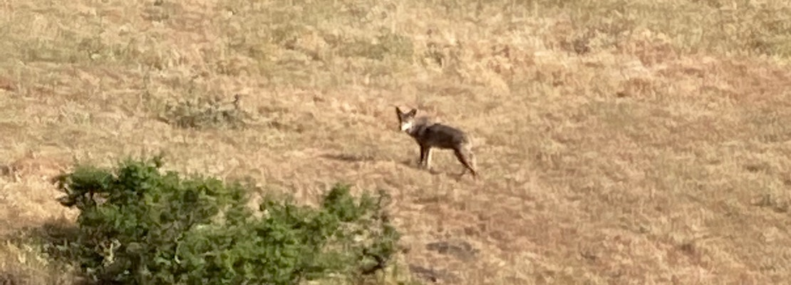 Coyotes have killed more than a dozen pets in San Jose senior community, residents say