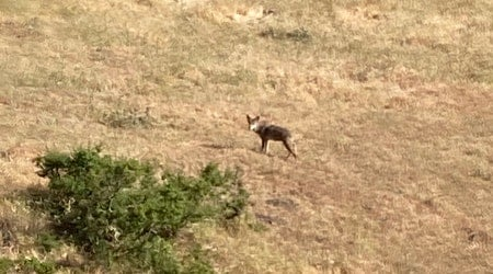 East Bay residents complain of pet-killing coyotes; man offers, then withdraws, $250 bounty