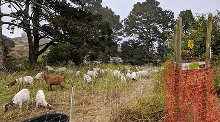 Greenscaping goats graze grass with gusto