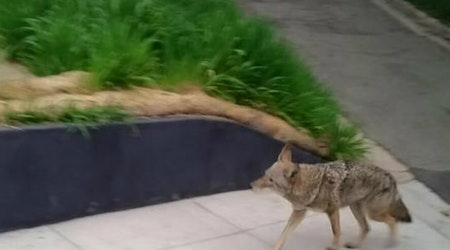 Coyote Spotted In Corona Heights This Morning