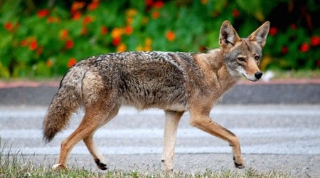Coyote Troubles Prompt City Hazing Plan