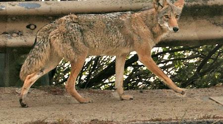 Neighbors Report Multiple Coyote Sightings On Kite Hill