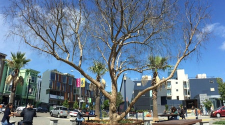 Large Pepper Tree In Patricia's Green Dies; Replacement Being Scouted