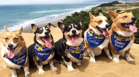 Corgi Con To Convene Hundreds Of Corgis At Ocean Beach This Weekend
