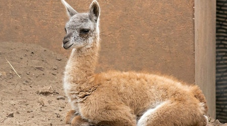 SF Zoo Welcomes Adorable Baby Guanaco