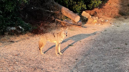 Video: Up Close And Personal With The Corona Heights Coyote