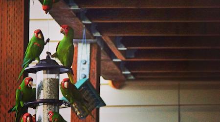 Meet The Wild Parrots Of Corona Heights