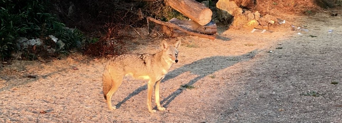 How To Coexist With Wild Coyotes—From SF's Own 'Coyote Whisperer'