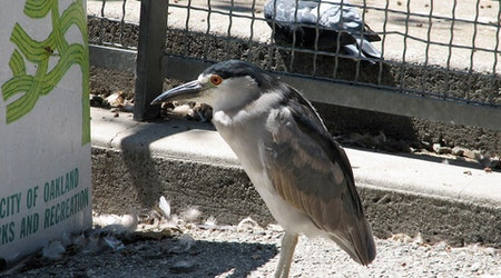 Oakland's Black-Crowned Night Herons 'Just About At Their Peak,' Says Wildlife Expert