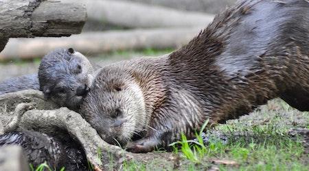 River Otter Pups Make Oakland Zoo Debut