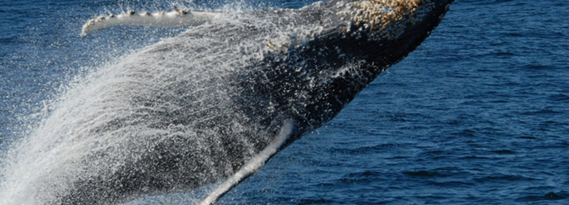 Make A Splash: Where To Watch Whales In San Francisco And Beyond