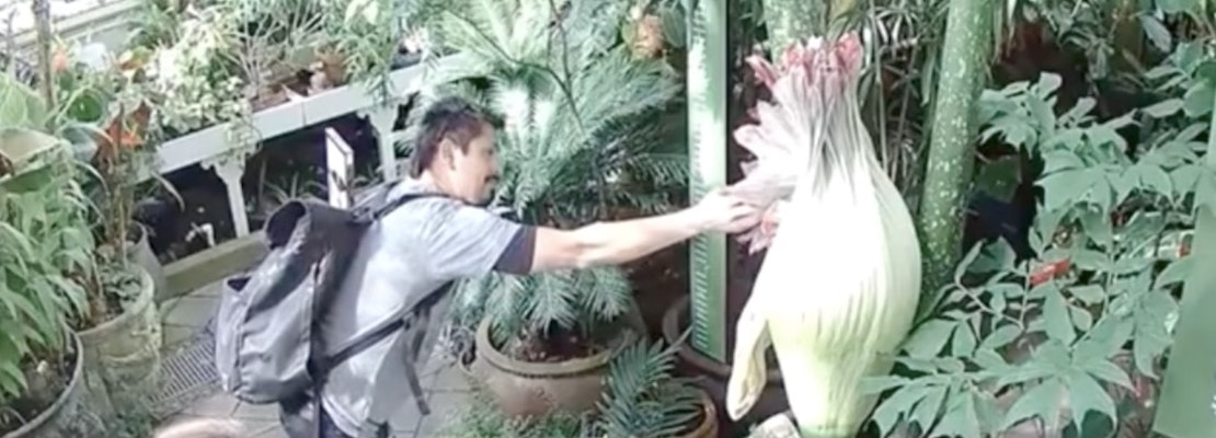 Conservatory Of Flowers Visitor Disturbs Corpse Flower