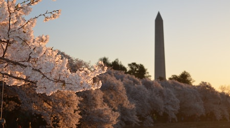 Top D.C. news: Historic tree topples outside landmark; express lane toll spikes to $46; more