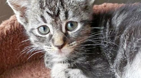 Kittens in Colorado Springs looking for their fur-ever homes