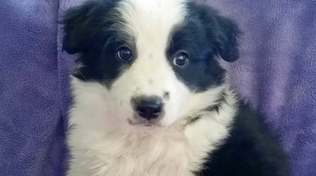 Puppies in Colorado Springs looking for their fur-ever homes