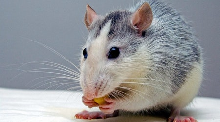 Cincinnati residents report 50 rodent infestations in May