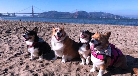 SF weekend: North Beach festival, Corgi Con at Ocean Beach, Stern Grove summer concerts, more