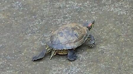 Ambitious Turtle Seeks Adventure Beyond Bernal Heights Reservoir