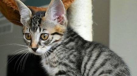 Kittens in Wichita looking for their fur-ever homes