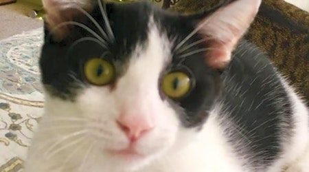 Cats in Honolulu looking for their fur-ever homes