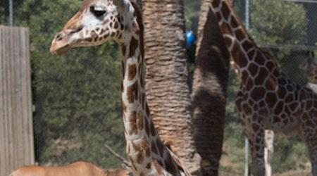 RIP, Tiki: Oakland Zoo Announces Death Of 28-Year-Old Giraffe