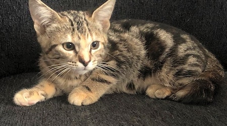 Want to adopt a pet? Here are 7 cute-as-can-be kittens to adopt now in Omaha