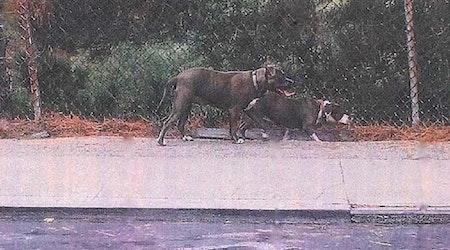 Police Seek 2 Dogs, Owner In Fatal Crocker-Amazon Pet Mauling