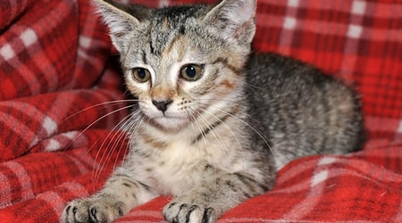 Looking to adopt a pet? Here are 5 cute-as-can-be kittens to adopt now in Omaha