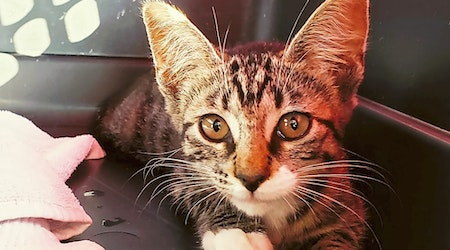 7 fluffy felines to adopt now in Tulsa