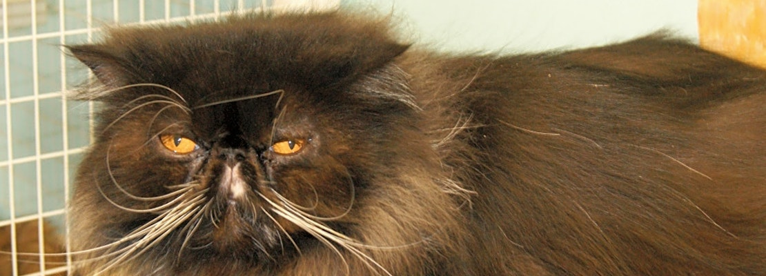 Looking to adopt a pet? Here are 7 cute kitties to adopt now in Memphis