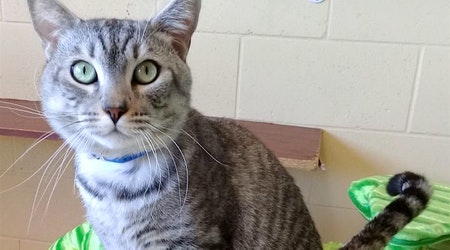 5 cute kitties to adopt now in Chula Vista