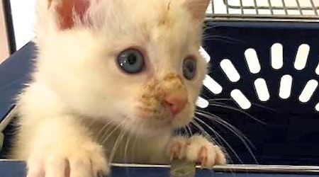 Looking to adopt a pet? Here are 4 cuddly kittens to adopt now in San Diego