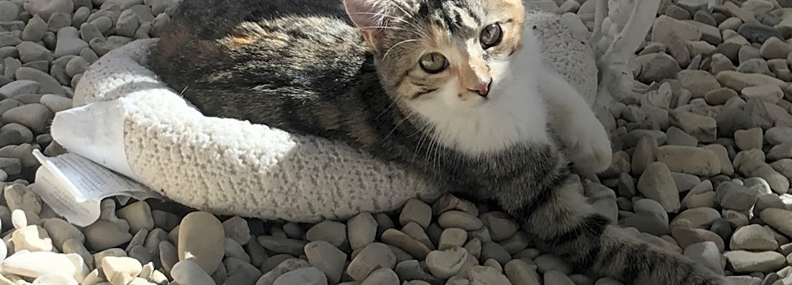 Want to adopt a pet? Here are 7 cool kitties to adopt now in Bakersfield