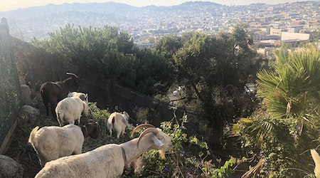 Weed-grazing goats take to Potrero Hill to remove invasive species