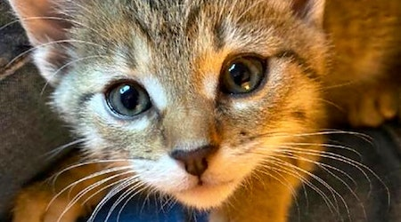 Looking to adopt a pet? Here are 7 cuddly kittens to adopt now in Colorado Springs