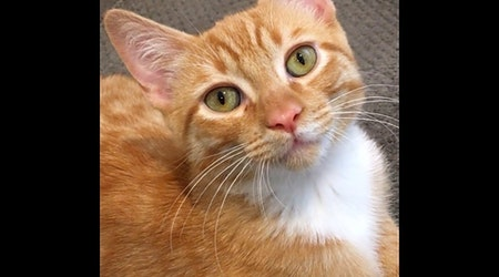 Want to adopt a pet? Here are 6 fluffy felines to adopt now in Albuquerque