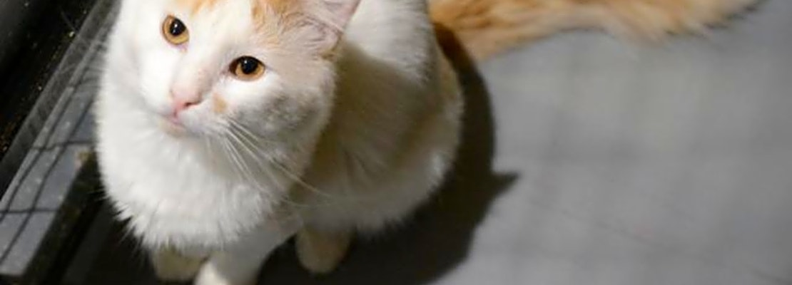 Want to adopt a pet? Here are 6 cute kitties to adopt now in New Orleans