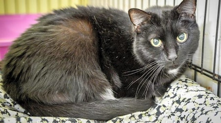 6 furry felines to adopt now in New Orleans