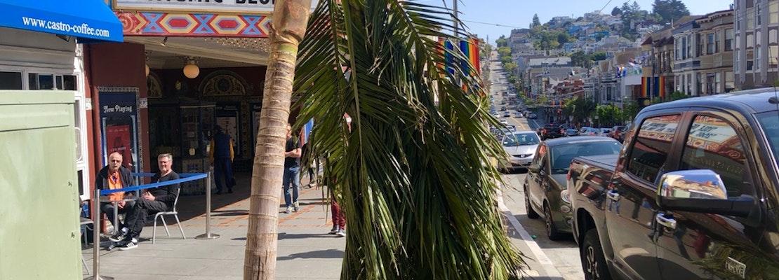Castro Street palm tree succumbs to transplant shock