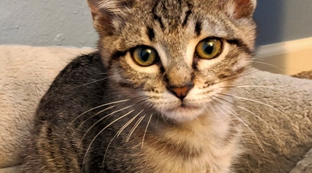 Want to adopt a pet? Here are 6 lovable kitties to adopt now in Albuquerque