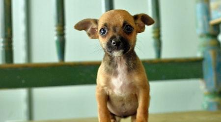 6 precious puppies to adopt now in San Antonio