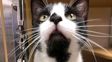 Want to adopt a pet? Here are 6 furry felines to adopt now in San Antonio